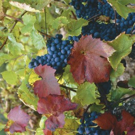 EPS Vigne rouge (150ml)