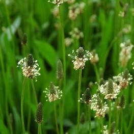 EPS Plantain (150ml)